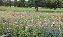 DLF Wildflower delivers colour and diversity for Lilley Brook Golf Club